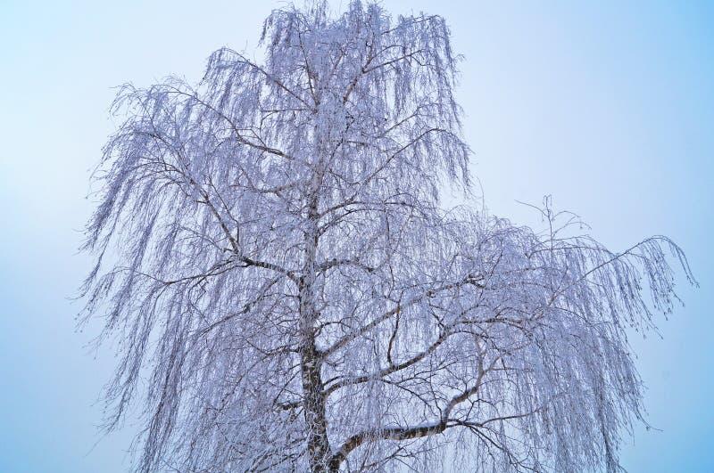 Björk med långa filialer som täckas med snö mot en blå himmel royaltyfri fotografi