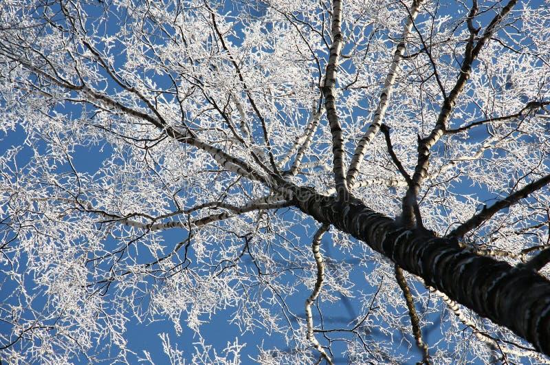 Björk, rimfrost och den blåa himlen fotografering för bildbyråer