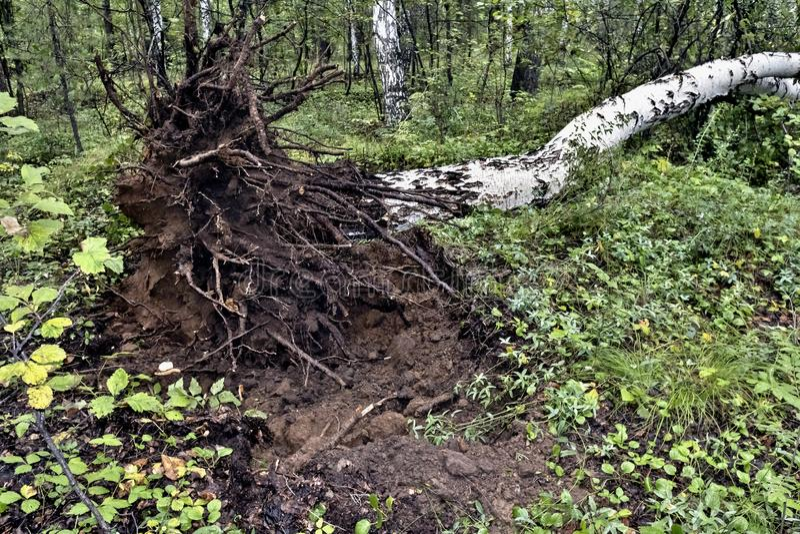 Björk som är stupad vid vinden i skogen royaltyfri foto