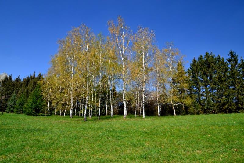 Björkar i skog arkivfoton