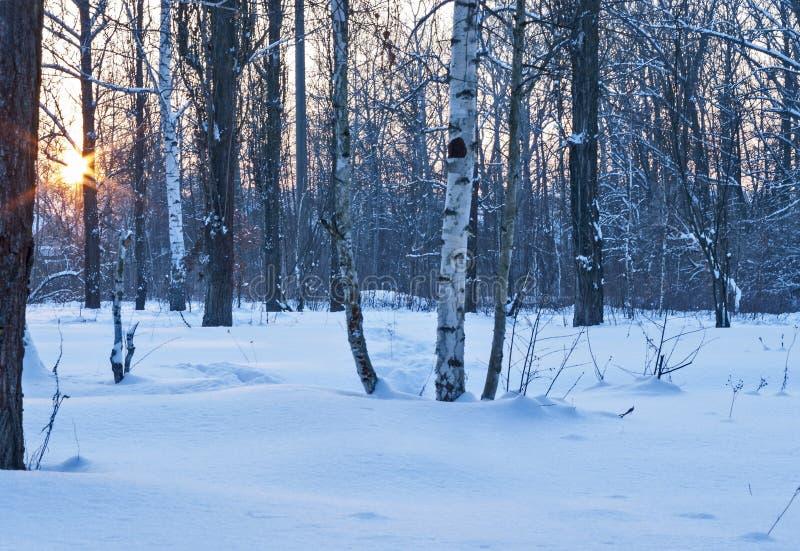 Björkdunge med insnöad vinter royaltyfria foton