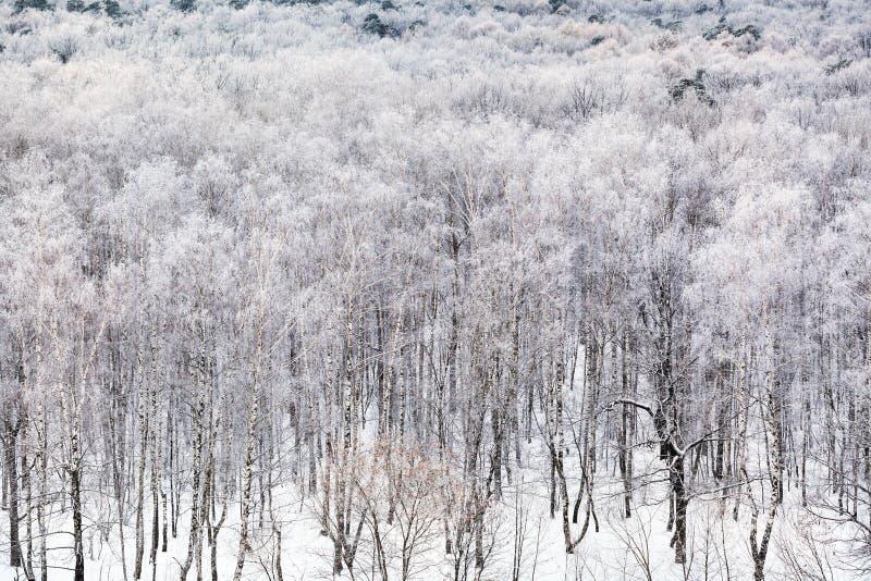 Björkdunge som täckas vid insnöad kall vinterdag fotografering för bildbyråer