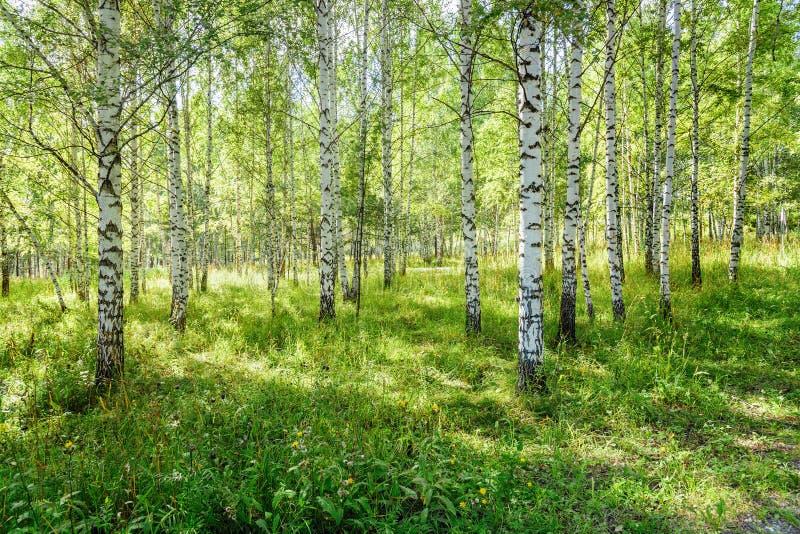 Björkdungen i natur parkerar som sommarlandskap arkivfoto