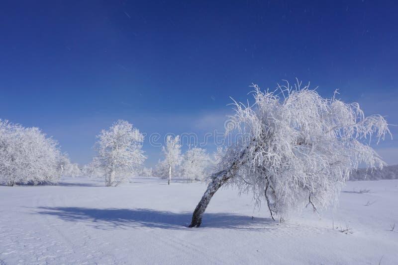 Björken böjde under vikten av snö arkivbilder