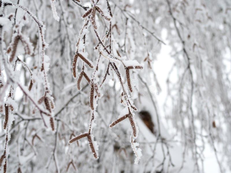 Björkfilialer som var nedböjda under vikten av snön, klamra sig fast intill dem royaltyfria foton