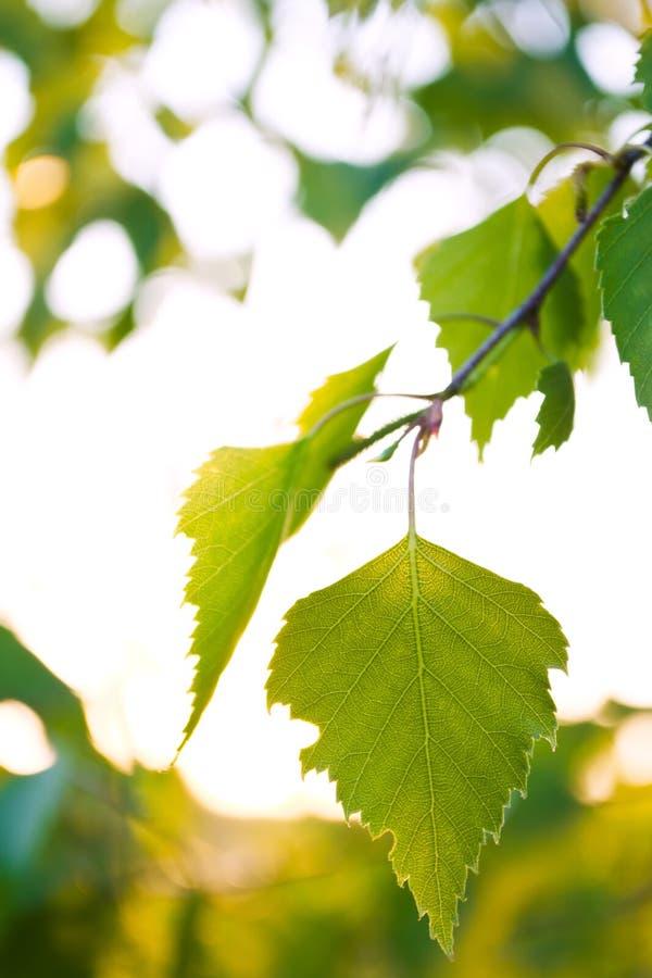 Download Björkleaves arkivfoto. Bild av lampa, tree, leaves, shine - 27281366