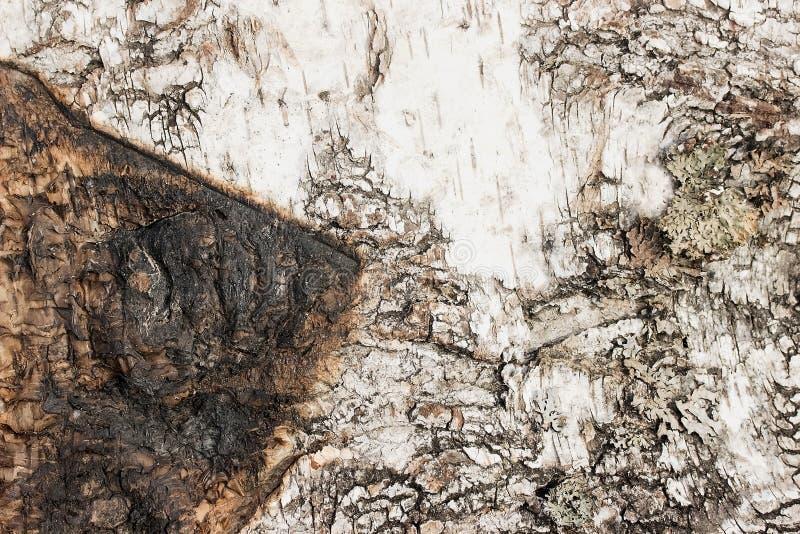 Björkskäll med brännskadaspårtextur eller bakgrund arkivbild