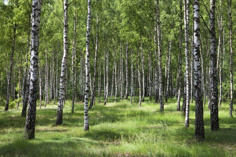 björkskog royaltyfria bilder