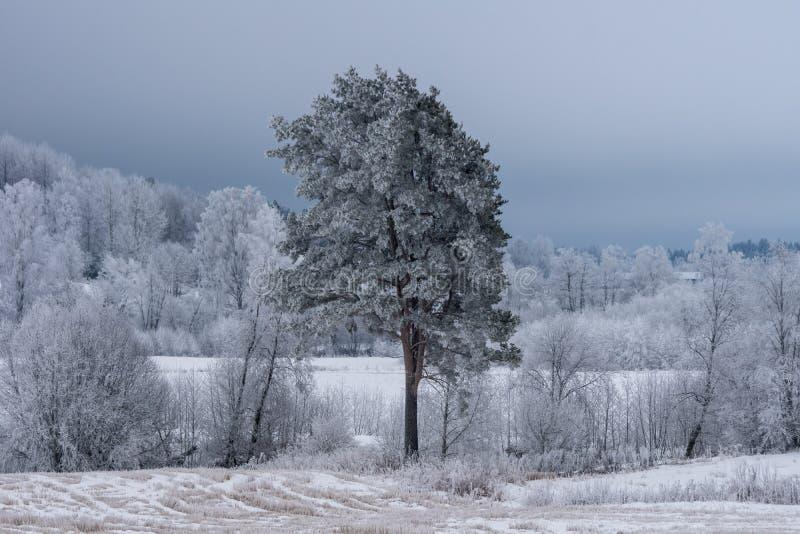 Björkskogen och ett enkelt sörjer trädet som täckas med frost och is arkivfoto