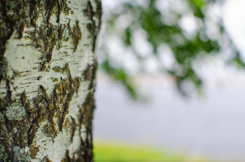 Björkstam på bakgrunden av floden royaltyfri bild