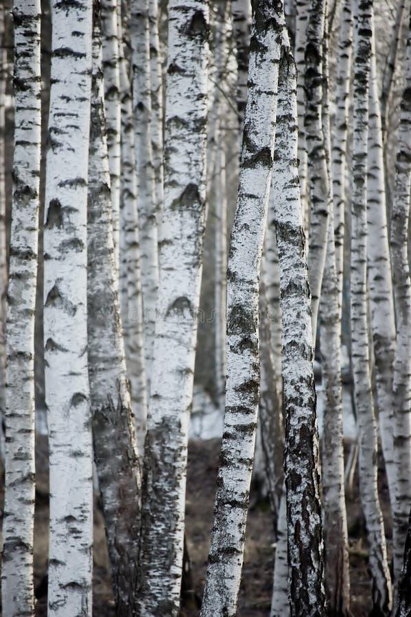 Björkträd Forest At Spring, stor detaljerad vertikal bakgrundsCloseup arkivbilder