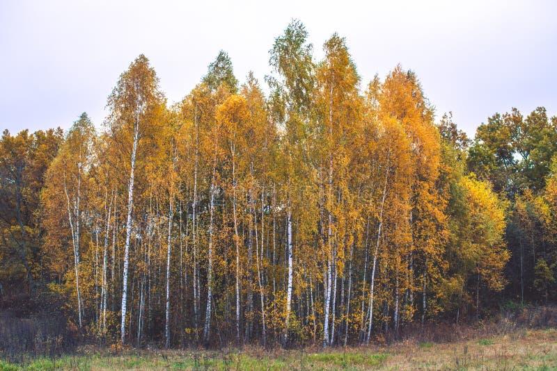 Björkträd, gulingsidor fotografering för bildbyråer