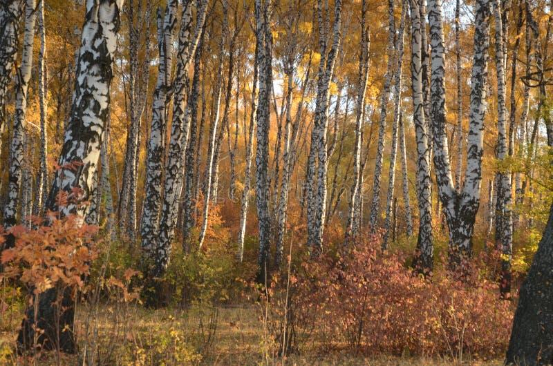 Björkträd i Autumn Forest arkivbilder