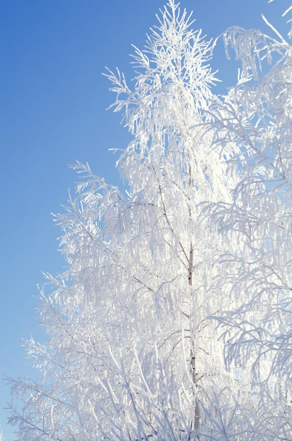 Björkträd i frost på ett klart vinterväder på en bakgrund av blå himmel royaltyfri bild