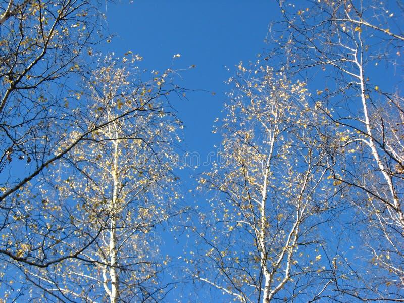 Björkträd i hösten arkivfoto