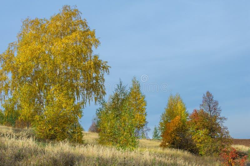 Björkträd i hösten, indiansommar, odlingsbara fält, mountai arkivbild