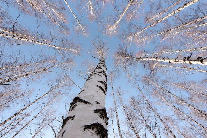 Björkträd i inställningssolen i vintern parkerar royaltyfri fotografi