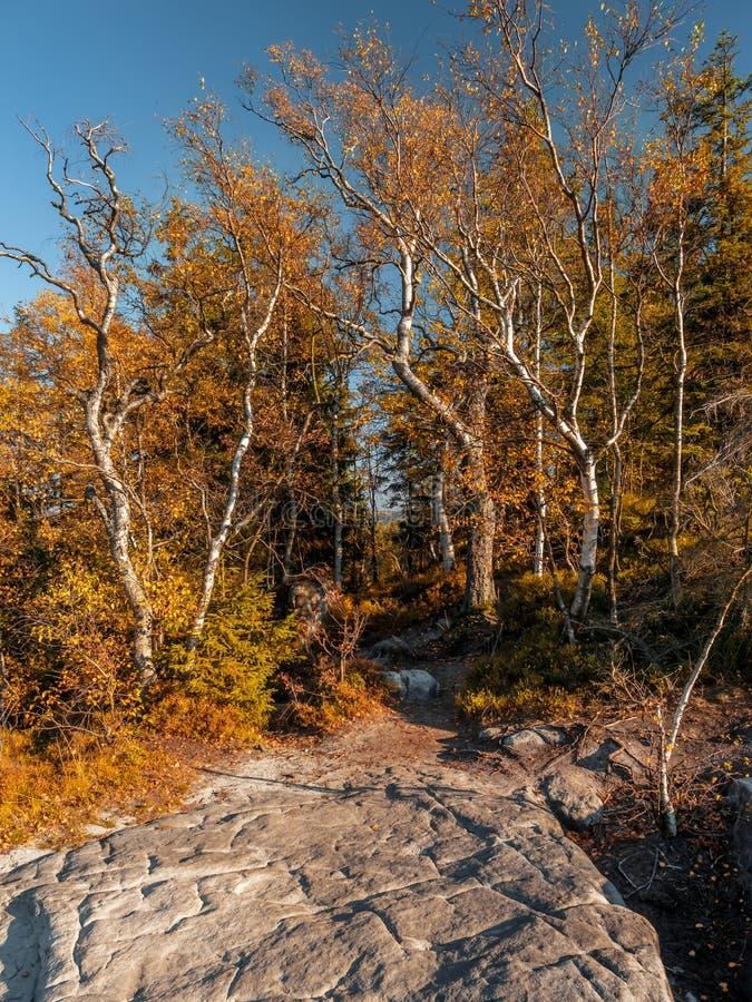 Björkträd i nedgångfärger på Kloofhörnet i tabellbergnationalparken, Polen arkivbilder