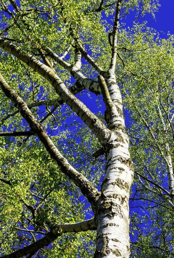 Björkträd i solen royaltyfri foto