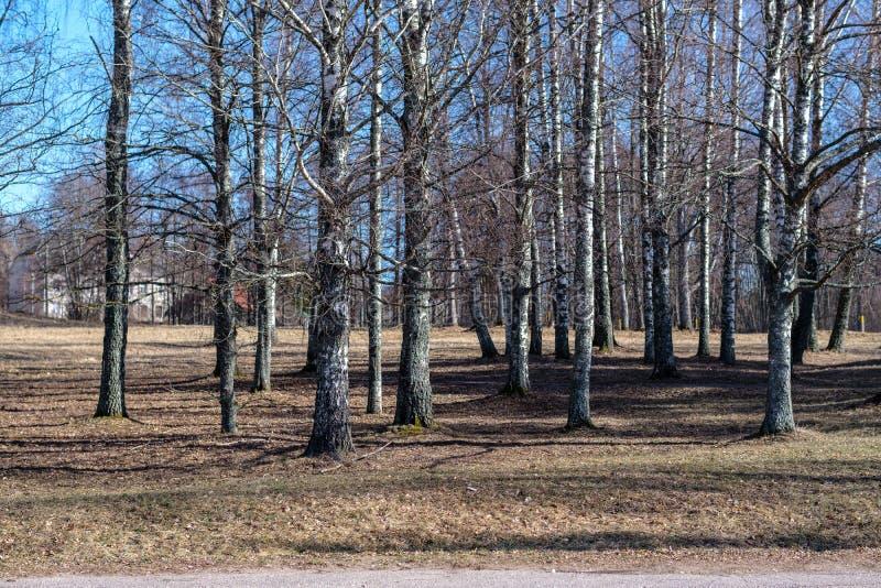 björkträd med det skadade skället i naket vinterlandskap arkivbilder