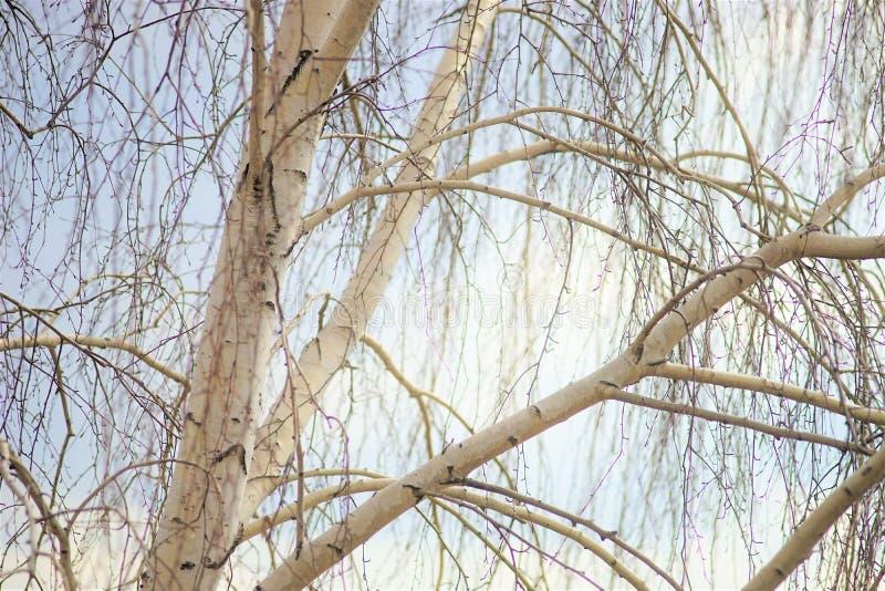 Björkträd med kala filialer i tidig vår royaltyfri foto