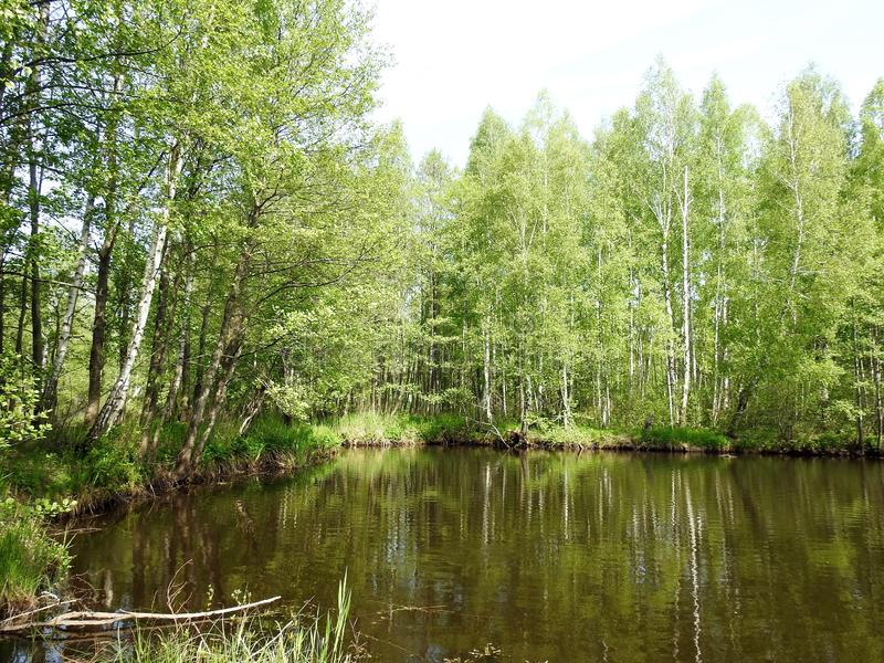 Björkträd nära den lilla sjön i våren, Litauen arkivbild