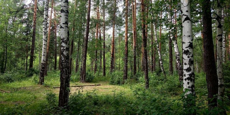 Björkträd, natur, gräsplan, gräs royaltyfri foto