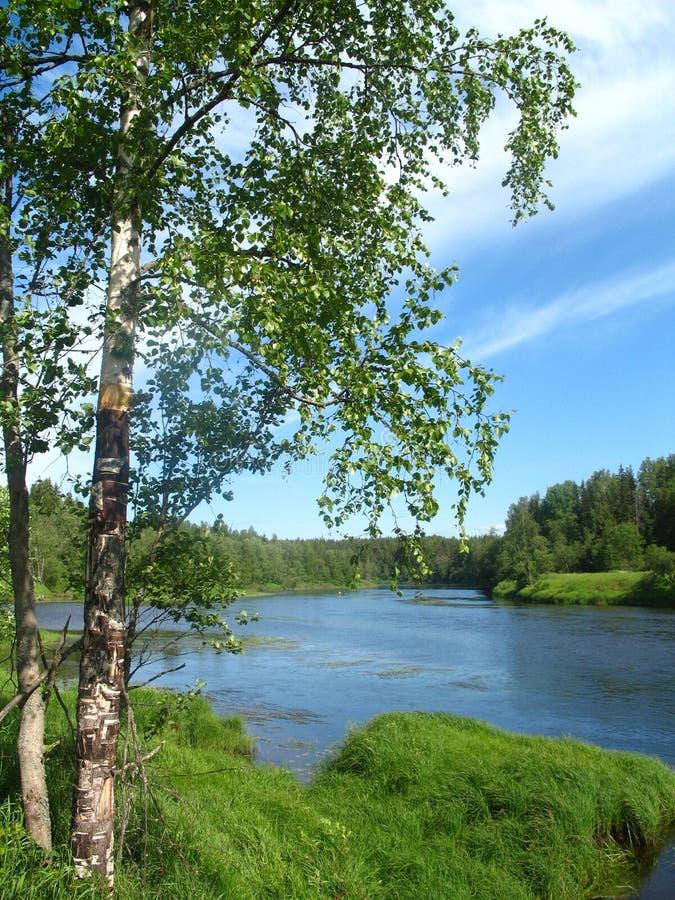 Björkträd på banken av floden i dag för sen morgon för sommar solig royaltyfri fotografi
