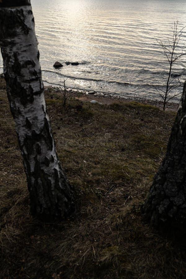 Björkträd på en strandkulle på Östersjön - Veczemjuen Klintis, Lettland - April 13, 2019 royaltyfria foton