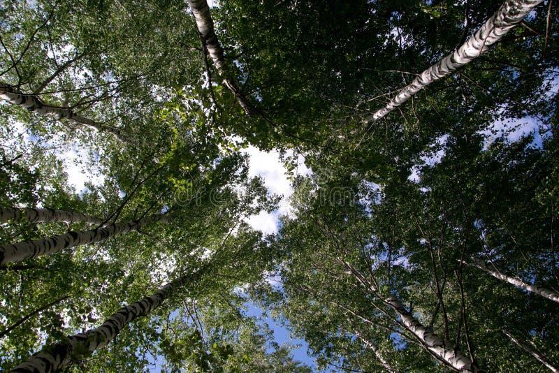 Björkträd trycker på himlen royaltyfri bild