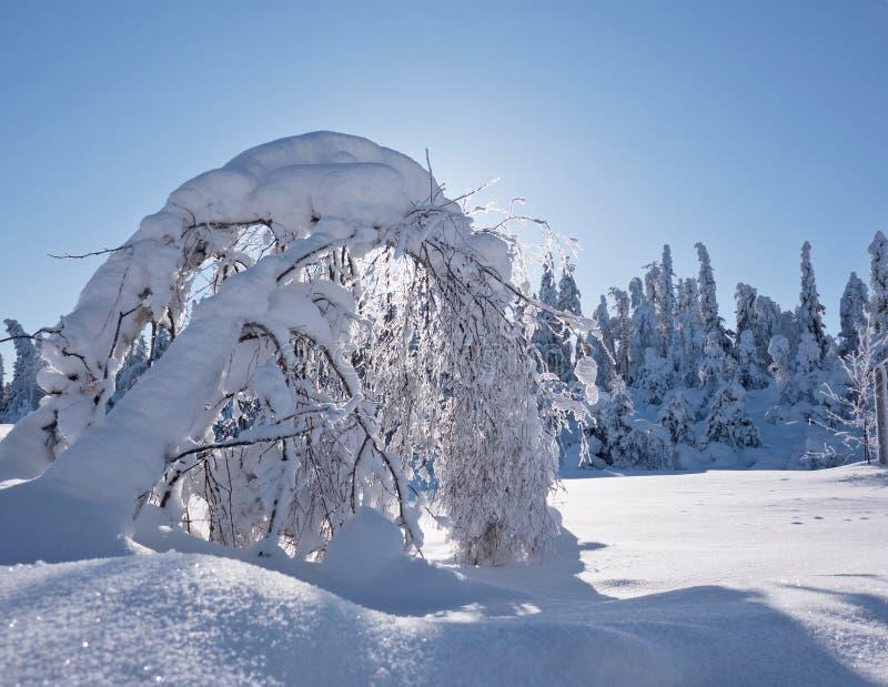 Björkträdet böjde under tung snö arkivfoto