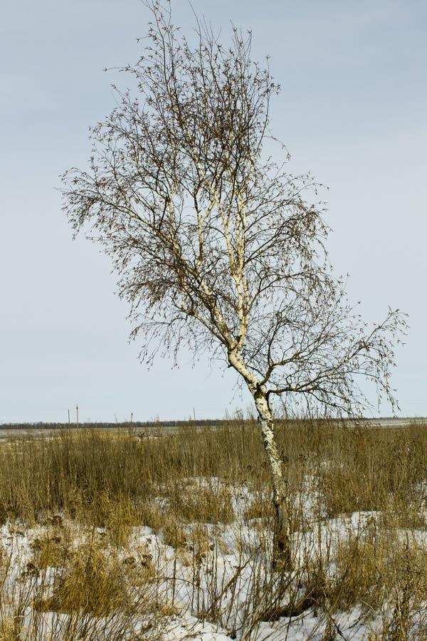 Björkträdet i vintern runt om torrt gräs royaltyfri fotografi