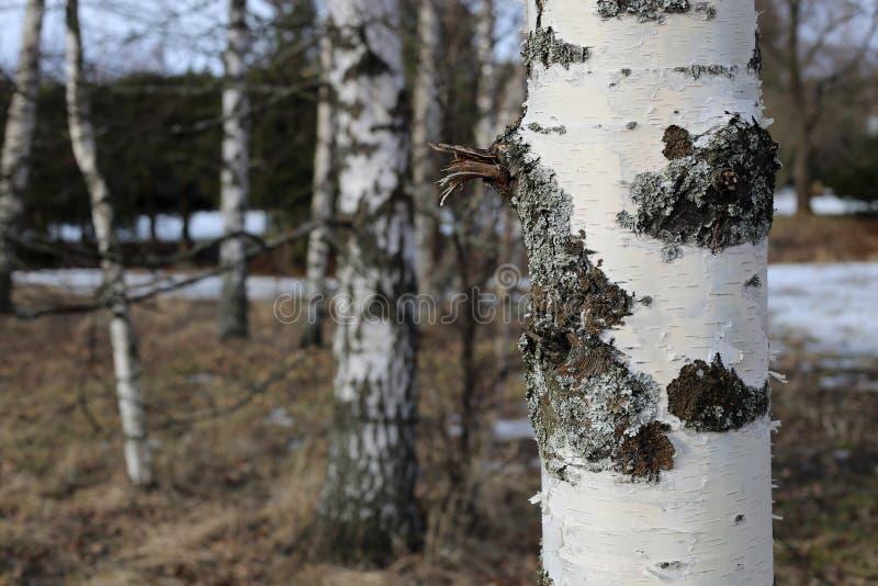 Björkträdstam som fotograferas i finlandssvensk skog arkivbild