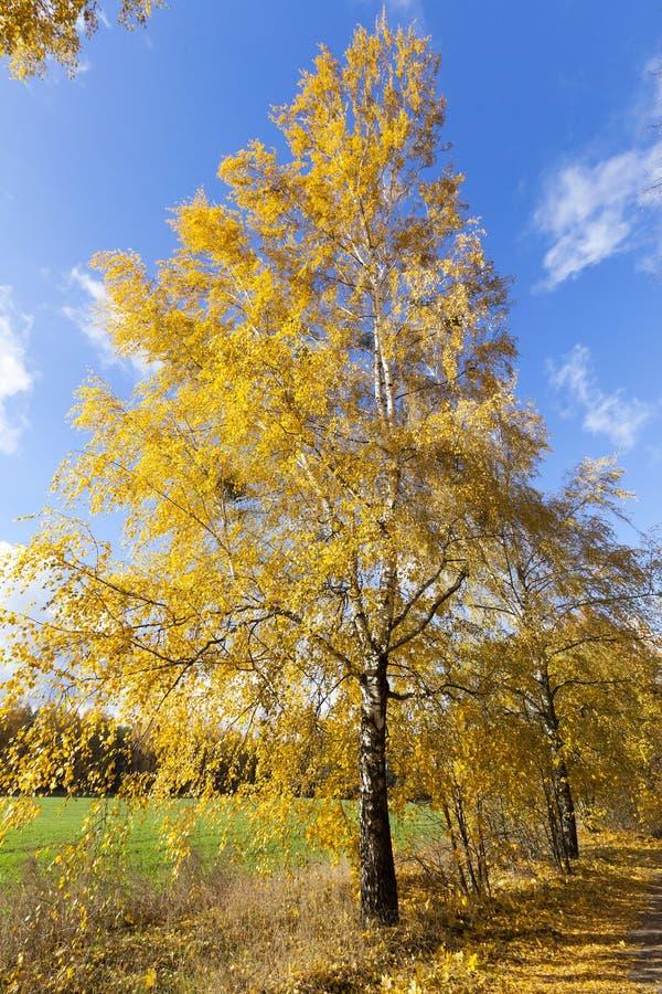 Björktree i höst royaltyfria foton