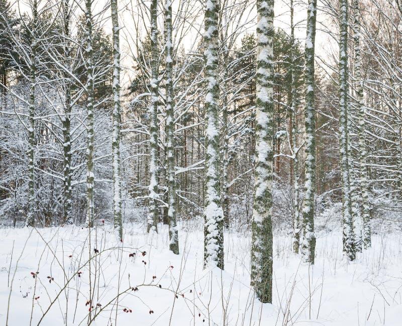 Björktrees i snow royaltyfria bilder