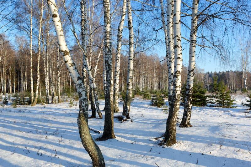 BjörkTrees i vintern. arkivbilder