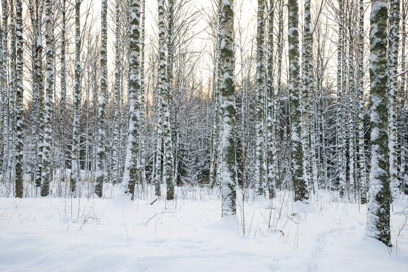 Björktreeskog i vinter royaltyfria foton