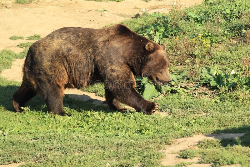 björn bruna kamchatka arkivbild