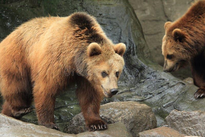 björn bruna kamchatka royaltyfri foto