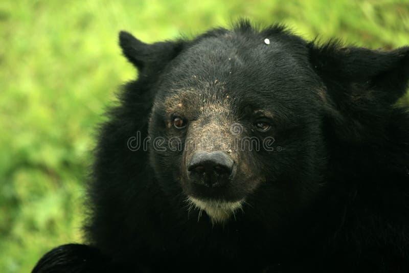 björn himalayan india royaltyfria foton