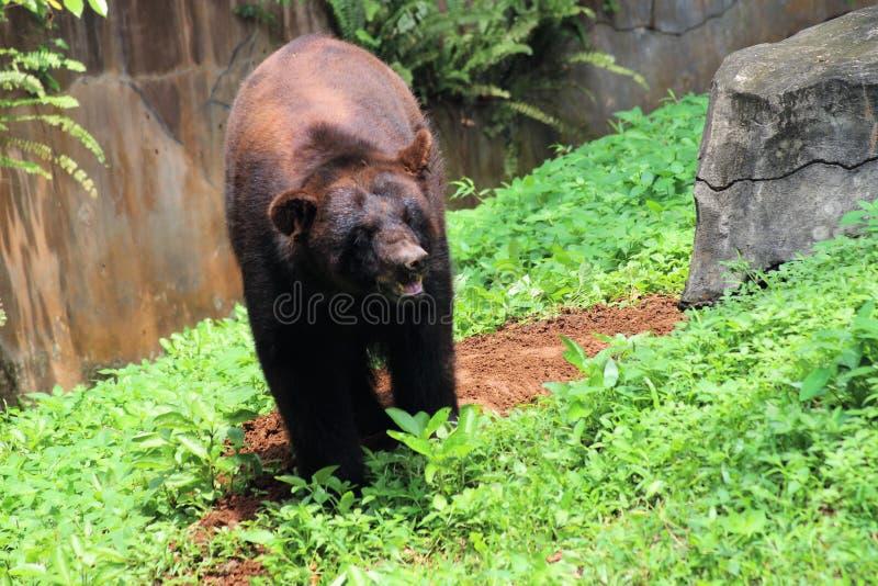 Björn i den indonesiska Safari Park arkivfoto