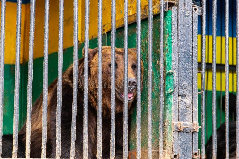 Björn i fångenskap i en zoo bak stänger Makt och agression i buren arkivfoton