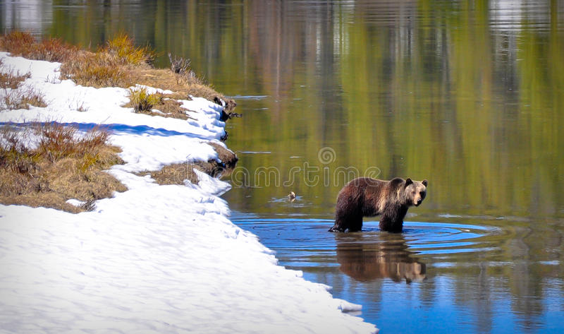 Björn i floden royaltyfria foton