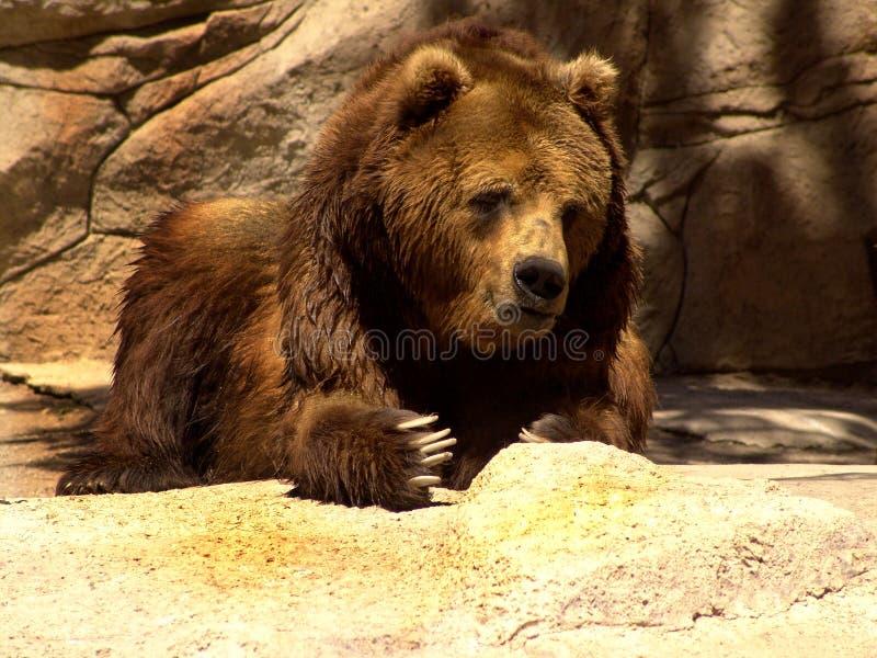 björn kamchatka royaltyfri fotografi