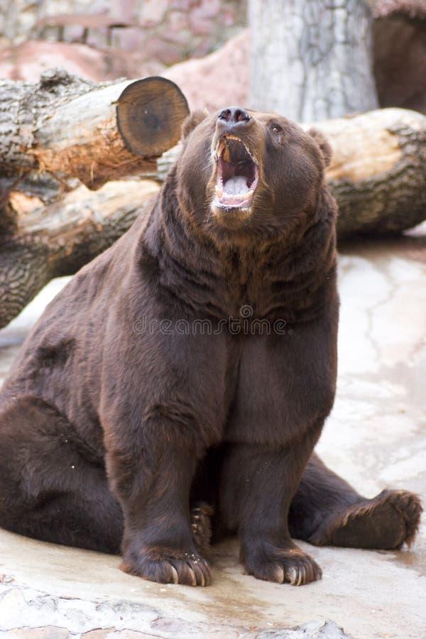 björn mycket royaltyfri fotografi