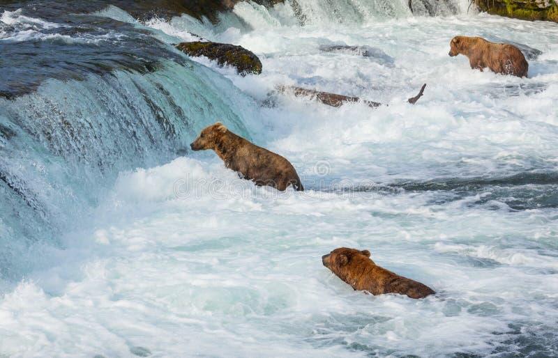 Björn på Alaska royaltyfria bilder