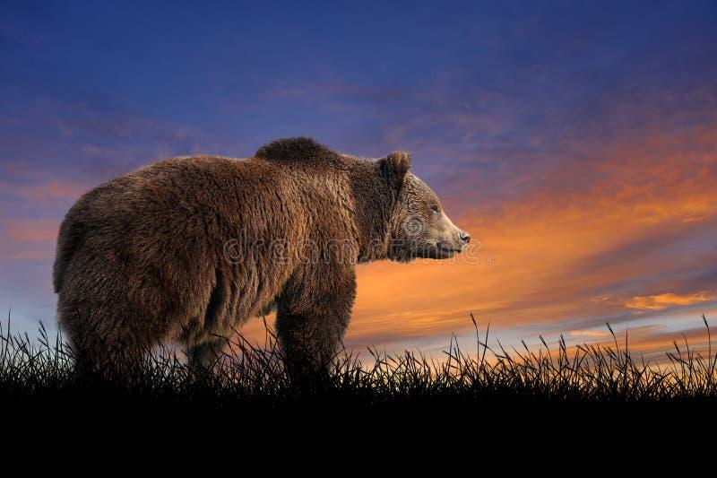 Björn på bakgrunden av solnedgånghimmel arkivbild