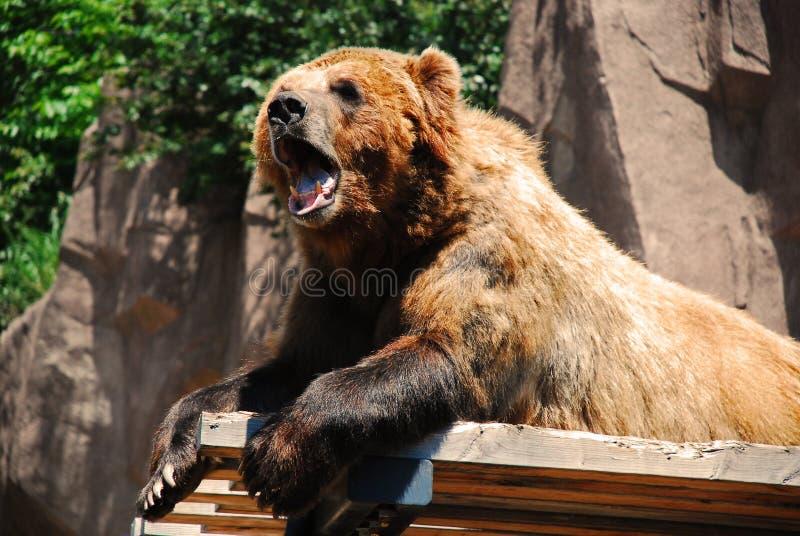 Björn på en avsats arkivfoto