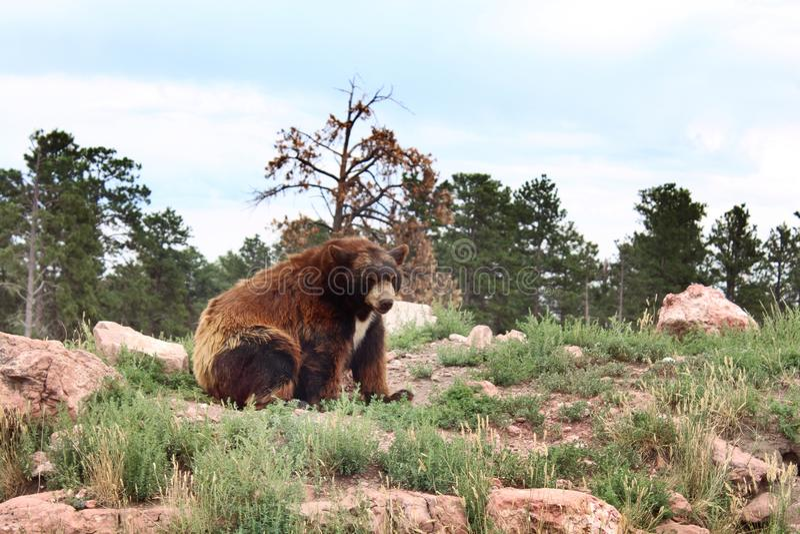 Björn på en kulle arkivbilder