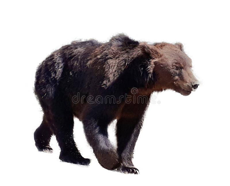 Björn på vit bakgrund royaltyfri bild